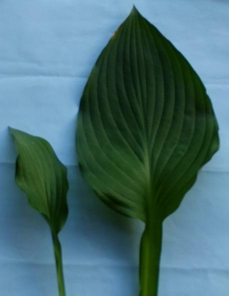 ギボウシの葉