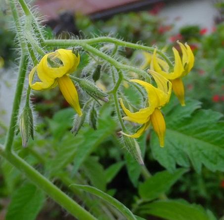 ミニトマトアイコの花